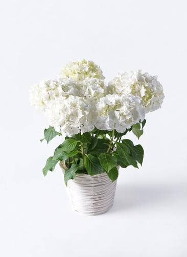 鉢花 あじさい 5号 ホワイトレオン ホワイトバスケット 付き
