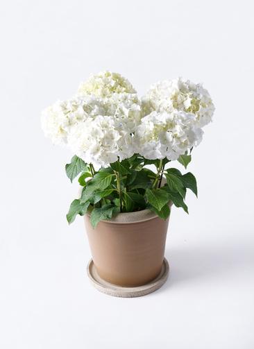 鉢花 あじさい 5号 ホワイトレオン キャメルポット ブラウン 付き