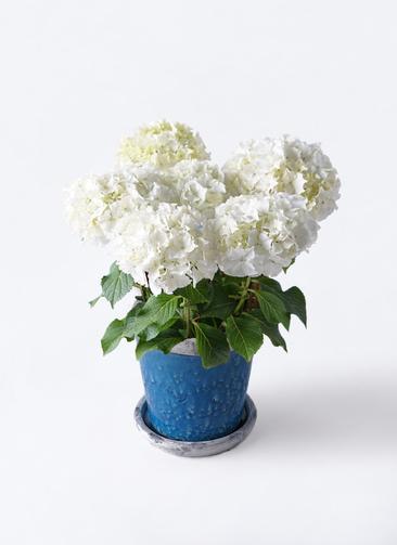 鉢花 あじさい 5号 ホワイトレオン アンティークテラコッタBlue 付き