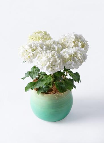鉢花 あじさい 5号 ホワイトレオン ササール ブルー 付き