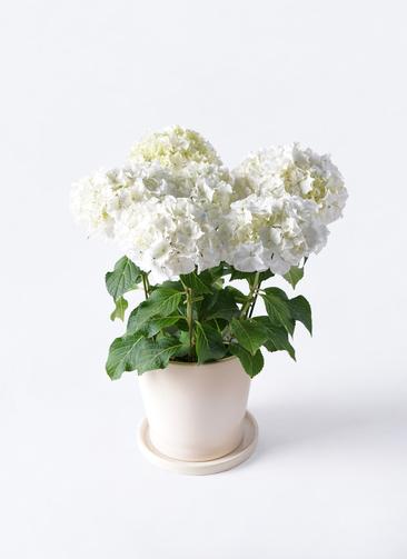 鉢花 あじさい 5号 ホワイトレオン ベラ 白 付き