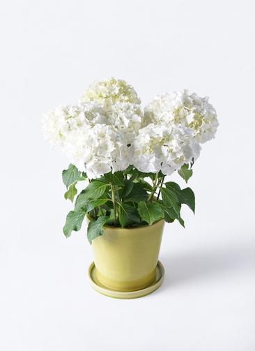 鉢花 あじさい 5号 ホワイトレオン ベラ ニューグリーン 付き