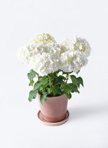 鉢花 あじさい 5号 ホワイトレオン ベラ ピンクパープル 付き