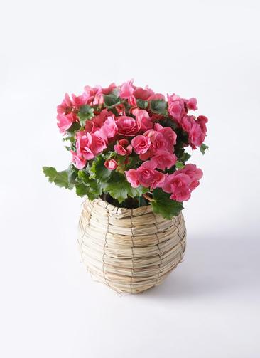 鉢花 リーガスベゴニア 5号 ベルセバ バスケット 付き