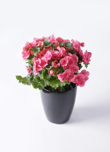 鉢花 リーガスベゴニア 5号 ベルセバ ラスターポット ブラック 付き