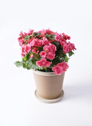 鉢花 リーガスベゴニア 5号 ベルセバ キャメルポット ブラウン 付き