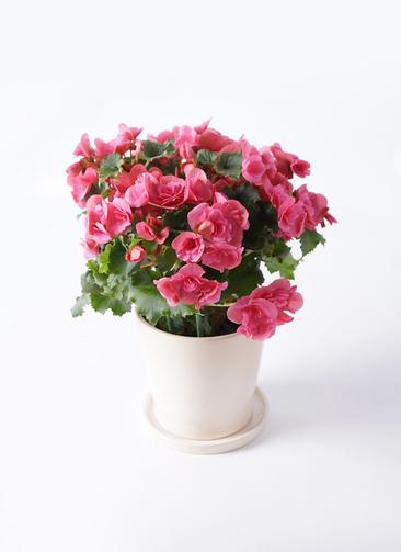 鉢花 リーガスベゴニア 5号 ベルセバ ベラ アイボリー 付き