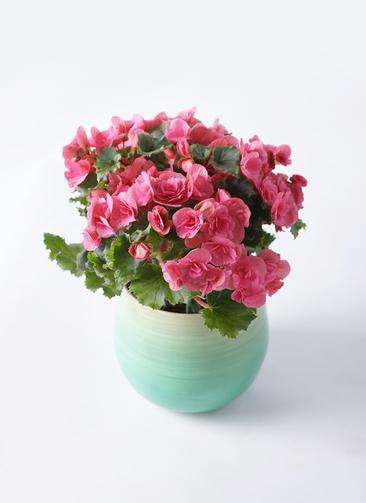 鉢花 リーガスベゴニア 5号 ベルセバ ササール ブルー 付き