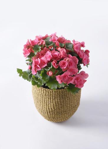 鉢花 リーガスベゴニア 5号 ベルセバ アバカバスケット オリーブ 付き