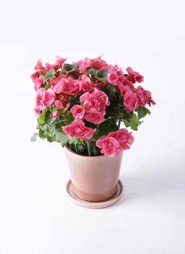 鉢花 リーガスベゴニア 5号 ベルセバ ベラ ピンクパープル 付き