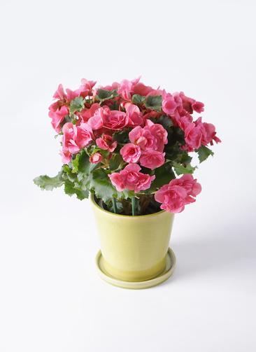 鉢花 リーガスベゴニア 5号 ベルセバ ベラ ニューグリーン 付き
