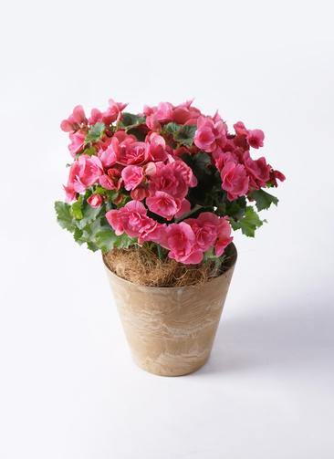 鉢花 リーガスベゴニア 5号 ベルセバ アートストーン ラウンドベージュ 付き