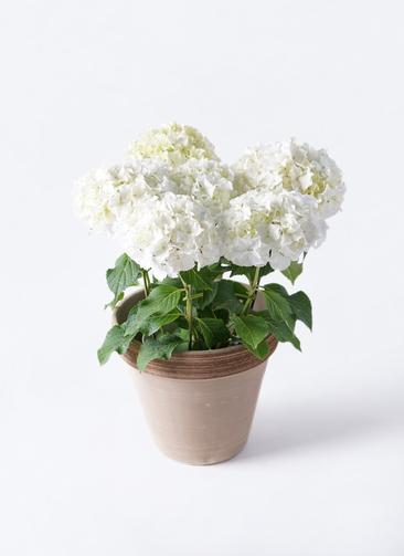 鉢花 あじさい 5号 ホワイトレオン スタンダードポット コーヒースクラッチ 付き