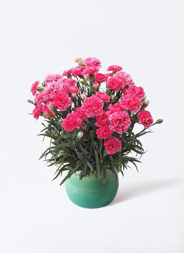 鉢花 カーネーション 5号 クレア ピンク ササール ブルー 付き