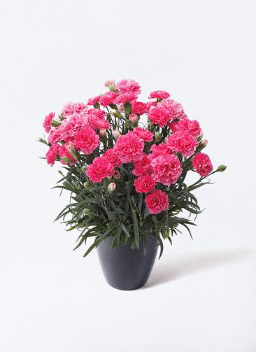 鉢花 カーネーション 5号 クレア ピンク ラスターポット ブラック 付き