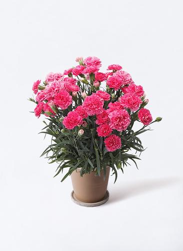 鉢花 カーネーション 5号 クレア ピンク キャメルポット ブラウン 付き