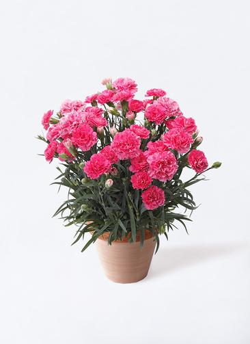 鉢花 カーネーション 5号 クレア ピンク スタンダードポット スクラッチ 付き