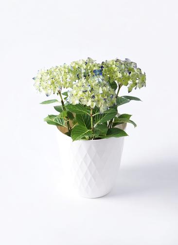 鉢花 あじさい 5号 ラグーン リッチェル キンバリー ホワイト 付き