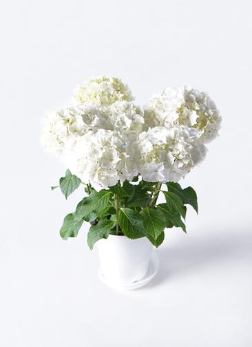 鉢花 あじさい 5号 ホワイトレオン プラスチック鉢