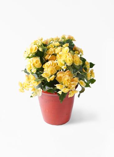 鉢花 リーガスベゴニア 5号 イエローストーン アンティークテラコッタ レッド 付き