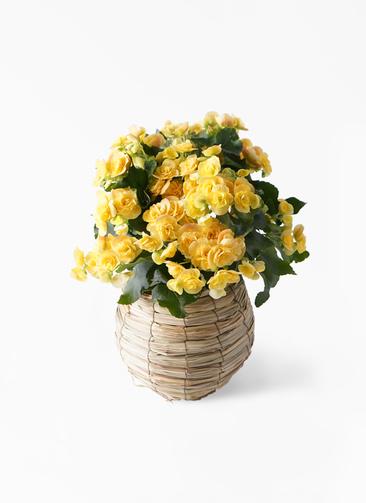 鉢花 リーガスベゴニア 5号 イエローストーン バスケット 付き