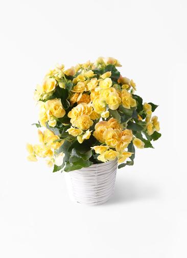 鉢花 リーガスベゴニア 5号 イエローストーン ホワイトバスケット 付き