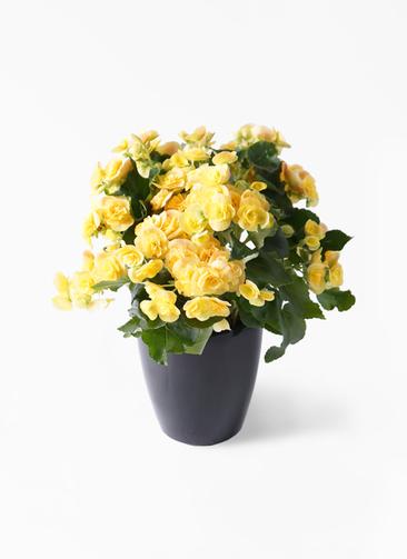 鉢花 リーガスベゴニア 5号 イエローストーン ラスターポット ブラック 付き
