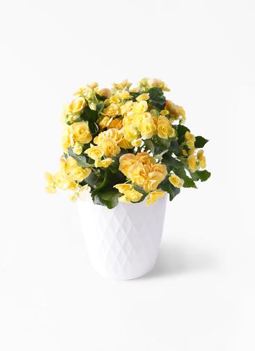 鉢花 リーガスベゴニア 5号 イエローストーン リッチェル キンバリー ホワイト 付き