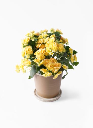鉢花 リーガスベゴニア 5号 イエローストーン キャメルポット ブラウン 付き