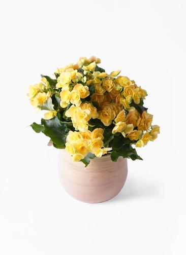 鉢花 リーガスベゴニア 5号 イエローストーン ササール ピンク 付き