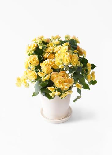 鉢花 リーガスベゴニア 5号 イエローストーン ベラ アイボリー 付き