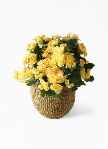 鉢花 リーガスベゴニア 5号 イエローストーン アバカバスケット オリーブ 付き
