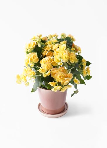 鉢花 リーガスベゴニア 5号 イエローストーン ベラ ピンクパープル 付き