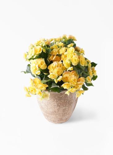 鉢花 リーガスベゴニア 5号 イエローストーン ルーガ アンティコ エッグ 付き