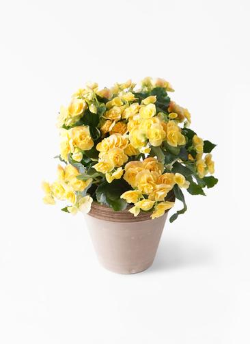 鉢花 リーガスベゴニア 5号 イエローストーン スタンダードポット コーヒースクラッチ 付き