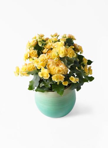 鉢花 リーガスベゴニア 5号 イエローストーン ササール ブルー 付き