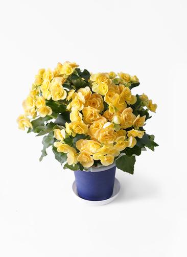 鉢花 リーガスベゴニア 5号 イエローストーン プラスチック鉢