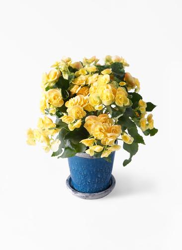 鉢花 リーガスベゴニア 5号 イエローストーン アンティークテラコッタBlue 付き