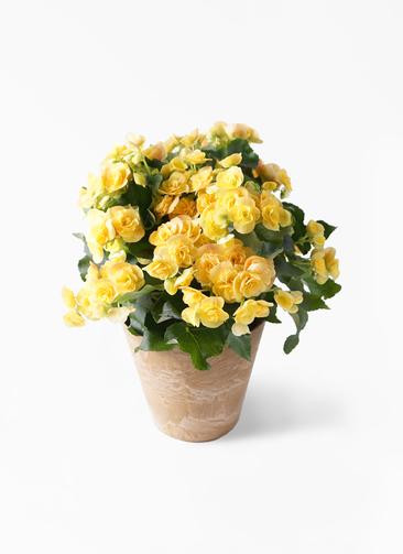 鉢花 リーガスベゴニア 5号 イエローストーン アートストーン ラウンドベージュ 付き
