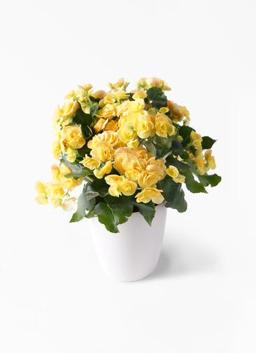 鉢花 リーガスベゴニア 5号 イエローストーン ラスターポット付き