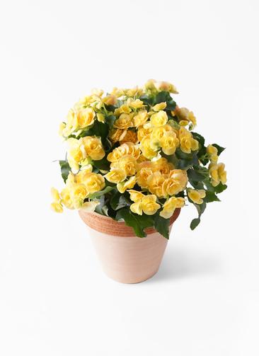 鉢花 リーガスベゴニア 5号 イエローストーン スタンダードポット スクラッチ 付き