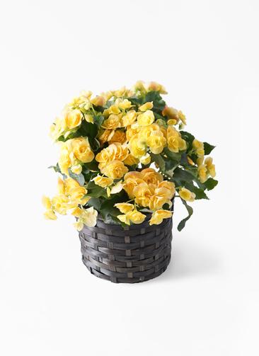 鉢花 リーガスベゴニア 5号 イエローストーン 竹バスケット 付き