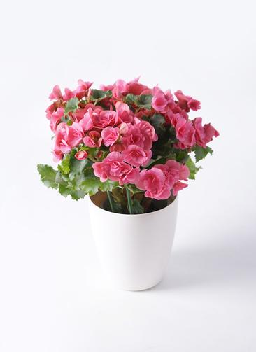鉢花 リーガスベゴニア 5号 ベルセバ ラスターポット付き