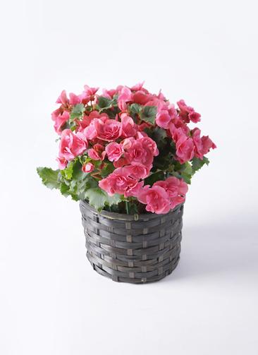 鉢花 リーガスベゴニア 5号 ベルセバ 竹バスケット 付き