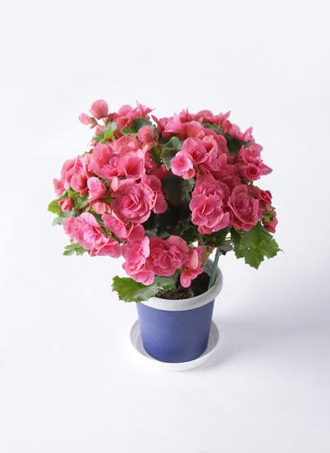 鉢花 リーガスベゴニア 5号 ベルセバ プラスチック鉢