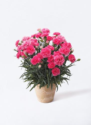 鉢花 カーネーション 5号 クレア ピンク アートストーン ラウンドベージュ 付き
