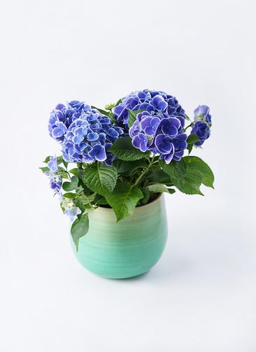 鉢花 あじさい 5号 チボリ ササール ブルー 付き