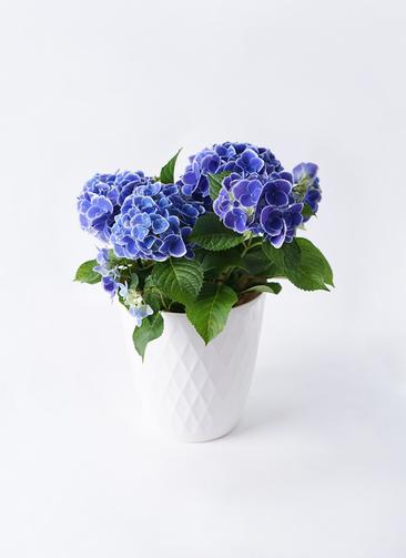 鉢花 あじさい 5号 チボリ リッチェル キンバリー ホワイト 付き