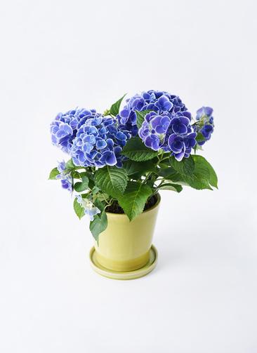 鉢花 あじさい 5号 チボリ ベラ ニューグリーン 付き