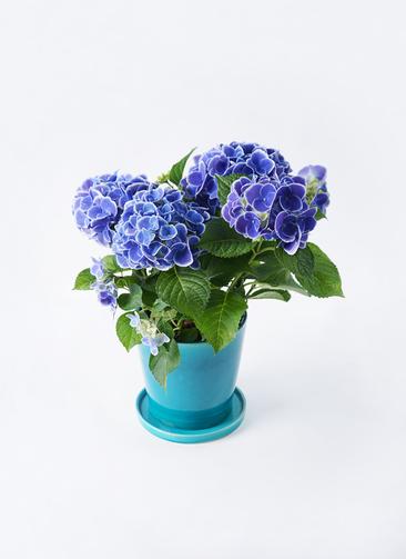 鉢花 あじさい 5号 チボリ ベラ ブルー 付き